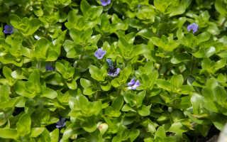 Аквариумное растение бакопа каролинская: естественная среда обитания, уход и содержание