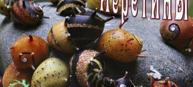 Улитки неретина: характеристика видов, особенности содержания и размножения