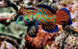 Рыба мандаринка: интересные факты о пестрой красавице, описание вида, особенности ухода и содержания