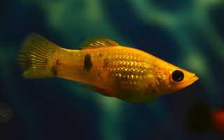 Моллинезия баллон: содержание и уход в домашних условиях, как разводить рыбок