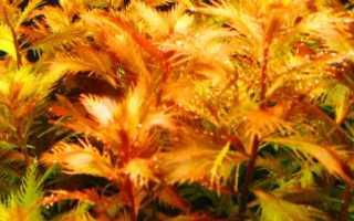 Прозерпинака палюстрис: описание и условия содержания растения Proserpinaca palustris