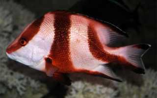 Рыба Луциан – императорский красный, кампечинский, светлый и другие виды