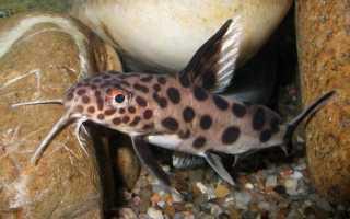 Содержание и размножение сома-перевертыша в аквариуме: совместимость синодонтиса с другими рыбами, чем кормить