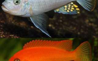 Псевдотрофеус зебра: описание и характеристики аквариумной рыбки, особенности содержания самцов и самок