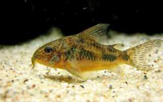 Крапчатый сомик: общие сведения и совместимость с другими видами, содержание и уход, размножение коридорасов