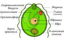 Хламидомонада: где обитает зеленая водоросль и чем питается, способ размножения