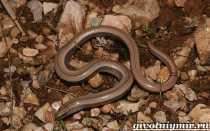 Веретеница: внешний вид безногой ящерицы и отличие от змеи, питание и содержание в домашних условиях, советы