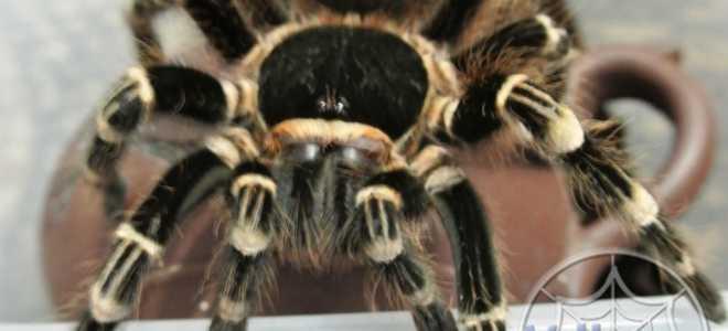 Acanthoscurria geniculata: внешний вид, особенности содержания и опасность укуса паука