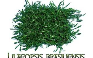 Лилеопсис бразильский: требования к содержанию, правила ухода за растением