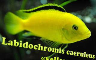 Лабидохромис еллоу: описание цихлид-колибри, особенности аквариумного разведения желтых рыбок