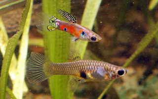 Живородящие аквариумные рыбки: условия содержания, уход, популярные виды