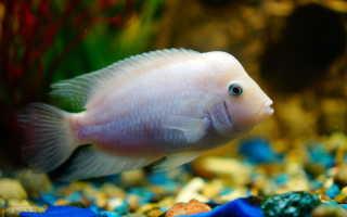 Цихлазома фламинго: внешний вид аквариумной рыбы, особенности содержания, кормления и размножения цихлиды