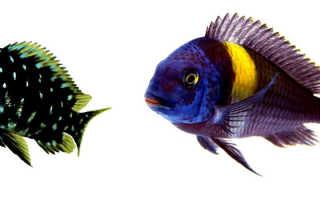 Трофеус звездчатый: особенности ухода за дубоиси, кормление и содержание с другими рыбками