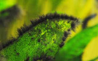Черная борода в аквариуме: причины появления, методы борьбы с водорослью, химические и биологические средства