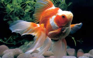 Золотая рыбка риукин: описание, размножение, болезни и уход