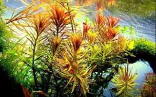 Лимнофила ароматика: содержание аквариумного растения и уход за ним в домашних условиях