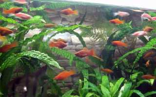 Размножение меченосцев: каковы условия домашнего разведения и как ухаживать за аквариумными мальками