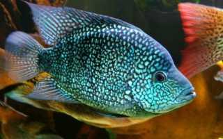 Бриллиантовая цихлазома: содержание, совместимость с другими рыбами, отличие самца от самки