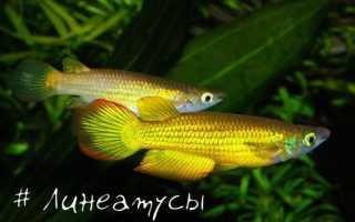 Линеатус, аплохейлус золотой или аквариумная щучка: поведение и внешний вид, содержание в домашних условиях