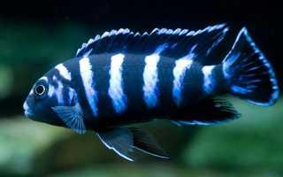 Псевдотрофеус демасони: как определить пол цихлиды, содержание и разведение рыбки