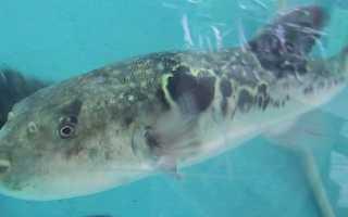 Рыба фугу: описание, приготовление и употребление опасного ядовитого японского блюда