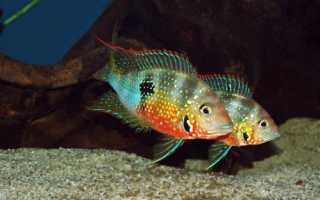 Цихлазома Элиота: общие сведения о рыбке, содержание и уход в домашних условиях, совместимость