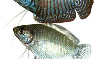 Лялиус – содержание рыбки, совместимость