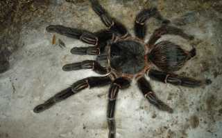 Lasiodora parahybana: содержание, кормление и размножение паука-птицееда
