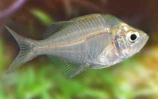 Необычная аквариумная зеркальная рыбка: особенности покупки и содержания индийского стеклянного окуня
