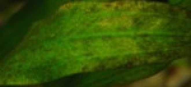 Диатомовые водоросли: разновидности, где обитают, как решить проблемы с бурыми одноклеточными в аквариуме