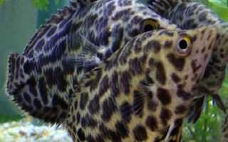 Леопардовая ктенопома: условия содержания и питания рыбы, размножение и совместимость с другими видами
