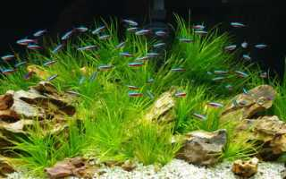 Бликса японская: описание аквариумного растения Blyxa japonica, требования к условиям содержания