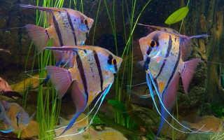 Совместимость скалярии: соседство ангела с сомиками, цихлидами и другими видами рыбок в аквариуме