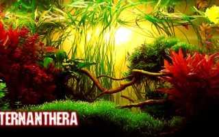 Альтернантера рейнека (alternanthera reineckii): описание растения, содержание и уход за водорослью