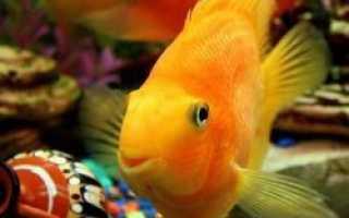 Имена для рыбок петушков: клички для мальчиков-самцов и девочек-самок, как назвать рыбу по окрасу