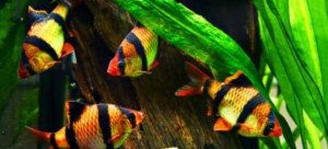 Характеристика аквариумных барбусов: размеры, среда обитания, кормление и разновидности рыб