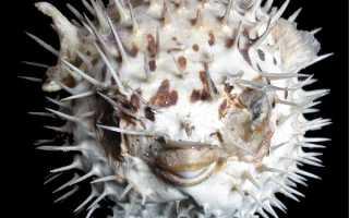 Сом Багарий (Гунч): описание рыбы, содержание и уход в аквариуме