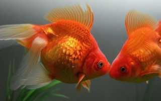 Содержание золотой рыбки кометы: аквариумные условия, особенности ухода, размножение рыб