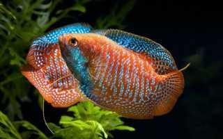 Аквариумные рыбы лялиус: совместимость с другими видами и разведение