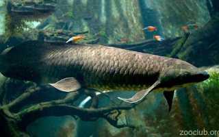 Австралийский рогозуб: описание, к какому подклассу рыб относится