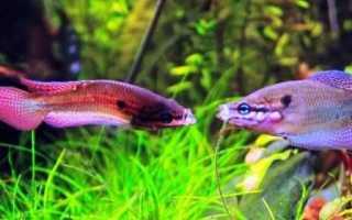 Живородящие аквариумные рыбы гурами: описание разновидностей, условия содержания, кормление и размножение