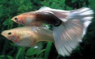Гуппи: описание Poecilia reticulata Peters, условия содержания рыбок в аквариуме и уход за ними