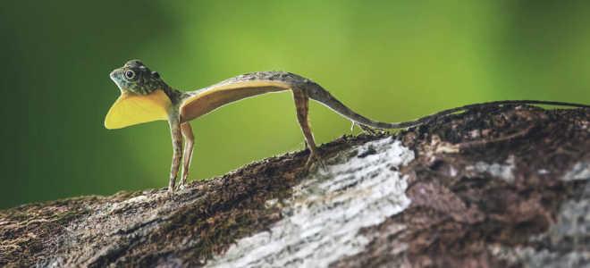 Ящерица летучий дракон: особенности питания и размножения, места обитания и основные виды рептилий