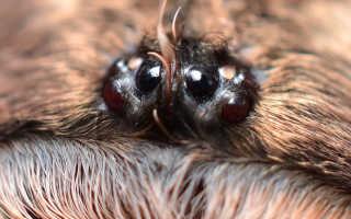 Паук-птицеед брахипельма альбопилосум: характеристики, содержание и кормление в домашних условиях