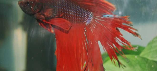Плавниковая гниль в общем аквариуме: причины появления и симптоматика, способы лечения