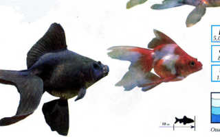 Вуалехвост: описание золотой рыбки, уход и условия содержания в аквариуме, кормление и размножение