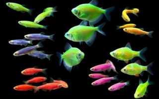 Флуоресцентные рыбки Глофиш: особенности вида, условия содержания светящегося данио-рерио