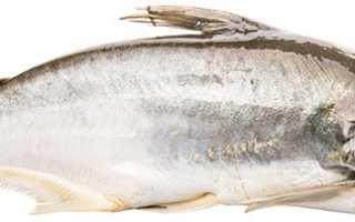 Белый вьетнамский пангасиус: где обитает рыба и чем питается, как выглядит, условия разведения