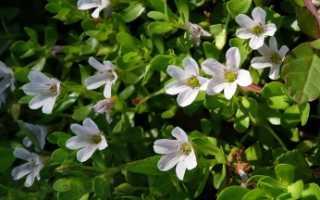 Бакопа Монье (Bacopa monnieri): описание и состав растения, лечебные свойства и противопоказания