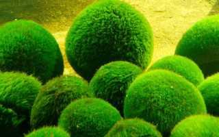 Зеленые водоросли: особенности строения, представители вида и их количество, основное предназначение